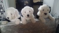 Old English Sheepdog Puppies for sale in San Francisco, CA 94133, USA. price: NA