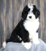 Old English Sheepdog Puppies for sale in St. Louis, MO, USA. price: NA