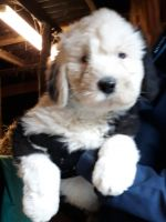 Old English Sheepdog Puppies for sale in Los Andes St, Lake Forest, CA 92630, USA. price: NA