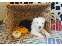 Old English Sheepdog Puppies for sale in Austin, TX, USA. price: NA