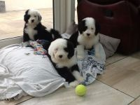 Old English Sheepdog Puppies for sale in New York, NY, USA. price: NA