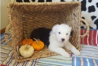 Old English Sheepdog Puppies for sale in Portland, OR, USA. price: NA
