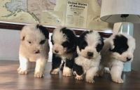 Old English Sheepdog Puppies for sale in Denver, CO, USA. price: NA
