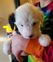Old English Sheepdog Puppies for sale in Akron, OH, USA. price: NA