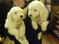 Old English Sheepdog Puppies for sale in Detroit, MI, USA. price: NA