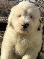 Old English Sheepdog Puppies for sale in California St, San Francisco, CA, USA. price: NA