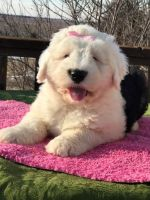Old English Sheepdog Puppies for sale in Phoenix Country Club, Phoenix, AZ, USA. price: NA