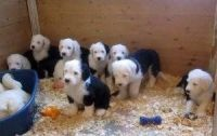 Old English Sheepdog Puppies for sale in Dallas, TX, USA. price: NA