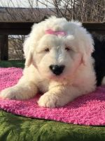 Old English Sheepdog Puppies for sale in Columbus, OH, USA. price: NA