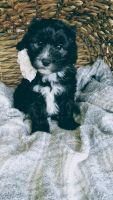 Old English Sheepdog Puppies for sale in Sugarcreek, OH 44681, USA. price: NA