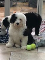 Old English Sheepdog Puppies for sale in Miami, FL, USA. price: NA