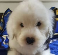 Old English Sheepdog Puppies for sale in Cincinnati, OH, USA. price: NA