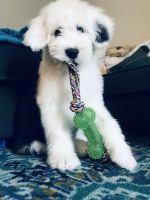 Old English Sheepdog Puppies for sale in Tucson, AZ, USA. price: NA