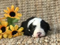 Old English Sheepdog Puppies Photos
