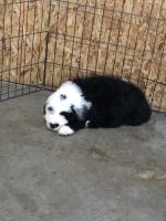 Old English Sheepdog Puppies for sale in Mesick, MI 49668, USA. price: NA