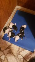 Old English Sheepdog Puppies for sale in Lake Wales, FL, USA. price: NA