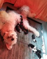 Old English Sheepdog Puppies for sale in Baltimore, MD, USA. price: NA