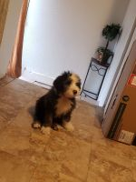 Old English Sheepdog Puppies for sale in El Paso, TX, USA. price: NA
