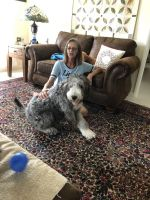 Old English Sheepdog Puppies for sale in Mims, FL, USA. price: NA