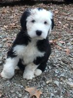 Old English Sheepdog Puppies for sale in Gosport, IN 47433, USA. price: NA