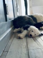 Old English Sheepdog Puppies for sale in Queen Creek, AZ, USA. price: NA