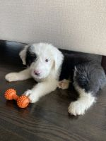 Old English Sheepdog Puppies for sale in Frisco, TX, USA. price: NA
