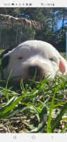 Old English Sheepdog Puppies for sale in Englewood, FL, USA. price: NA