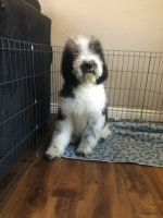 Old English Sheepdog Puppies for sale in Riverside, CA 92503, USA. price: NA