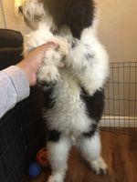 Old English Sheepdog Puppies Photos