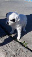 Old English Sheepdog Puppies for sale in San Ysidro, San Diego, CA, USA. price: NA