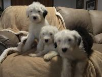 Old English Sheepdog Puppies for sale in Hanford, CA 93230, USA. price: NA