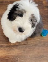 Old English Sheepdog Puppies for sale in Las Vegas, NV 89166, USA. price: NA