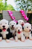 Old English Sheepdog Puppies for sale in Mission Viejo, CA, USA. price: NA