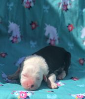 Old English Sheepdog Puppies for sale in Hardy, VA 24101, USA. price: NA