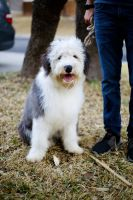 Old English Sheepdog Puppies for sale in San Antonio, TX 78247, USA. price: NA