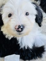 Old English Sheepdog Puppies for sale in Lewisville, TX, USA. price: NA