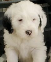 Old English Sheepdog Puppies for sale in Cherry Hill, NJ, USA. price: NA
