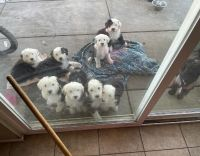 Old English Sheepdog Puppies for sale in Newark, NJ, USA. price: NA