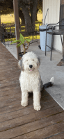 Old English Sheepdog Puppies for sale in Granbury, TX, USA. price: NA