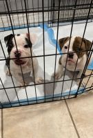 Olde English Bulldogge Puppies for sale in 9615 N 43rd Ave, Phoenix, AZ 85051, USA. price: NA