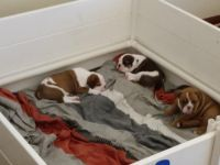 Olde English Bulldogge Puppies for sale in Columbus, OH, USA. price: NA