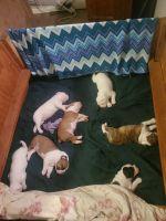 Olde English Bulldogge Puppies for sale in Clifton, AZ 85533, USA. price: NA