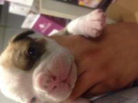 Olde English Bulldogge Puppies for sale in Hacienda Heights, CA, USA. price: NA