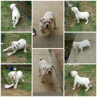 Olde English Bulldogge Puppies for sale in Laredo, TX, USA. price: NA
