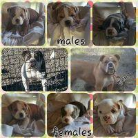 Olde English Bulldogge Puppies for sale in Gerber, CA 96035, USA. price: NA