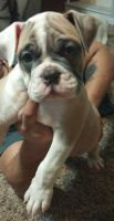 Olde English Bulldogge Puppies for sale in Rochester, NY, USA. price: NA