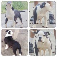 Olde English Bulldogge Puppies for sale in Atlanta, GA, USA. price: NA