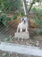Olde English Bulldogge Puppies for sale in Riverside, CA, USA. price: NA