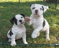 Olde English Bulldogge Puppies for sale in Killeen, TX, USA. price: NA