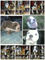 Olde English Bulldogge Puppies for sale in Tennessee, USA. price: NA